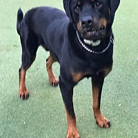 Rottweiler Dog for adoption in Cape Coral, Florida - Mojo