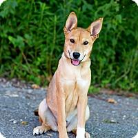 Adopt A Pet :: Lady - Cape Girardeau, MO