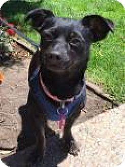 Miniature Pinscher/Chihuahua Mix Dog for adoption in Santa Cruz, California - Skittle
