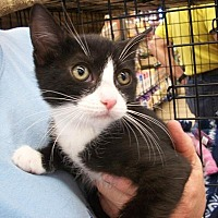 Adopt A Pet :: Shadow - Castro Valley, CA