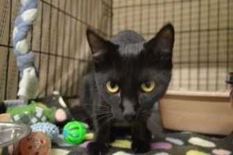 Domestic Shorthair/Domestic Shorthair Mix Cat for adoption in Winona, Minnesota - Cinder