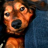 Adopt A Pet :: Luke - Portland, OR