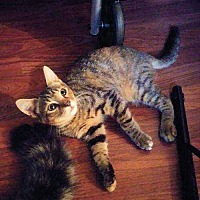 Adopt A Pet :: Tiger Lilly - Norristown, PA
