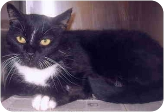 Domestic Mediumhair Cat for adoption in Grass Valley, California - Nathan