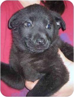 Labrador Retriever/Australian Shepherd Mix Puppy for adoption in Hammonton, New Jersey - Lancelot