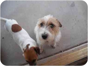 Jack Russell Terrier Dog for adoption in Sedona, Arizona - Freddy