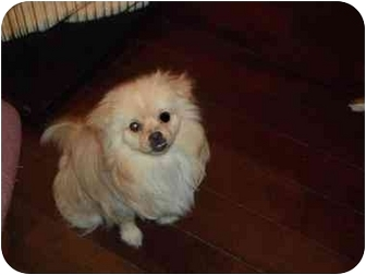 Pomeranian/Pekingese Mix Puppy for adoption in Coudersport, Pennsylvania - CUDDLES