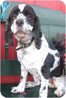 Cocker Spaniel Dog for adoption in Sugarland, Texas - Maggie