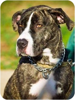 Hound (Unknown Type)/Great Dane Mix Dog for adoption in Freeport, New York - Maryanne