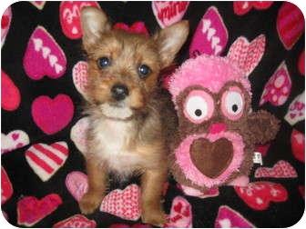 Yorkie, Yorkshire Terrier/Pomeranian Mix Puppy for adoption in Wauseon, Ohio - Destiny