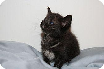 Domestic Mediumhair Kitten for adoption in Austin, Texas - Torti