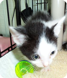 Domestic Shorthair Kitten for adoption in Catasauqua, Pennsylvania - Domino