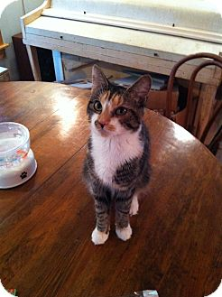 Domestic Shorthair Cat for adoption in Portland, Maine - Gucci