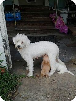 Poodle (Miniature) Mix Dog for adoption in Corpus Christi, Texas - Mama