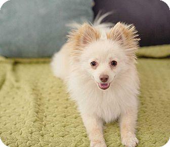 Pomeranian Mix Dog for adoption in Las Vegas, Nevada - Pacino