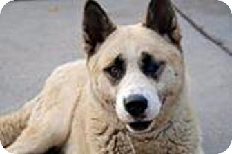 Akita Mix Dog for adoption in Toms River, New Jersey - Luna