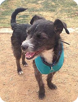 Terrier (Unknown Type, Small) Mix Dog for adoption in Salt Lake City, Utah - BAXTER