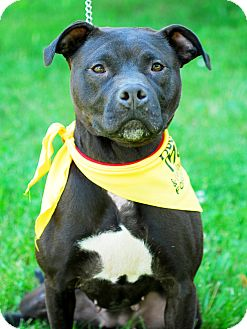 American Staffordshire Terrier Mix Dog for adoption in Detroit, Michigan - Holly-Pending!