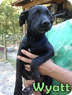 Labrador Retriever Mix Puppy for adoption in Groveland, Florida - Wyatt (12 weeks)