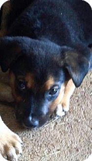 German Shepherd Dog Mix Puppy for adoption in New Smyrna beach, Florida - shepherd mix pups