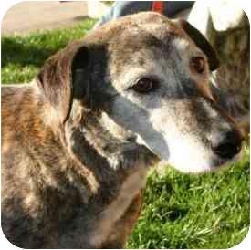 Catahoula Leopard Dog/Labrador Retriever Mix Dog for adoption in Berkeley, California - Agnes