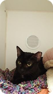 Domestic Shorthair Cat for adoption in Reisterstown, Maryland - Bea
