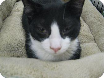 Domestic Shorthair Kitten for adoption in New york, New York - Beeker