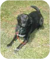 Labrador Retriever/Border Collie Mix Dog for adoption in Rockville, Maryland - Chevy