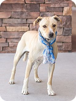 Labrador Retriever Mix Dog for adoption in Chandler, Arizona - Mylie