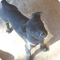 Adopt A Pet :: Roger - Chandler, AZ