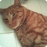 Adopt A Pet :: Cheeto - Sterling Hgts, MI