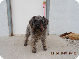 Miniature Schnauzer Mix Dog for adoption in El Dorado Springs, Missouri - Max