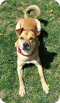 Shiba Inu Mix Dog for adoption in Lisbon, Ohio - Archie