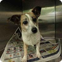 Adopt A Pet :: Corgi JRT Mix - Lomita, CA