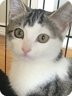 Domestic Shorthair Cat for adoption in Long Beach, New York - Pearl