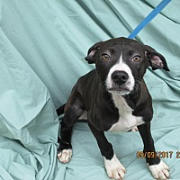 Adopt A Pet :: Patricia - Glastonbury, CT