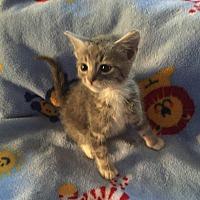 Adopt A Pet :: Silver boy - Hampton, VA