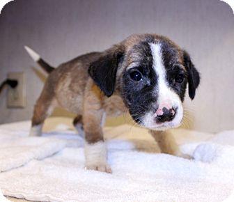 Boston Terrier/Terrier (Unknown Type, Small) Mix Puppy for adoption in Lumberton, North Carolina - Alfafa