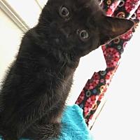 Domestic Shorthair Kitten for adoption in Woodstock, Georgia - STASSI (Emma)