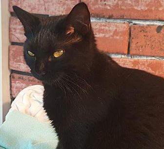 Domestic Shorthair Cat for adoption in Asheville, North Carolina - Tinker Bell (Courtesy)