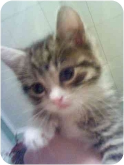 Domestic Shorthair Kitten for adoption in Bay City, Michigan - Gloriona