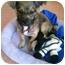 Photo 2 - Chihuahua Mix Puppy for adoption in Tarzana, California - Sadie Hawkins