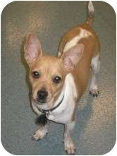 Chihuahua/Rat Terrier Mix Dog for adoption in House Springs, Missouri - Hollie