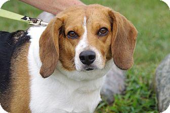 Beagle Dog for adoption in Elyria, Ohio - Bessie