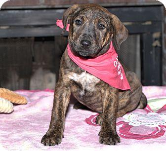 German Shepherd Dog/Collie Mix Puppy for adoption in Hatifeld, Pennsylvania - GiGi
