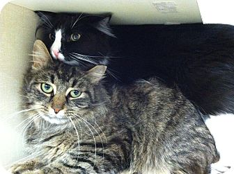 Domestic Longhair Cat for adoption in Riverhead, New York - Shamrock