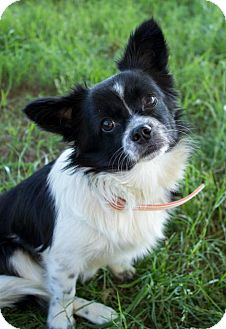 Papillon/Chihuahua Mix Dog for adoption in Pilot Point, Texas - ROWAN