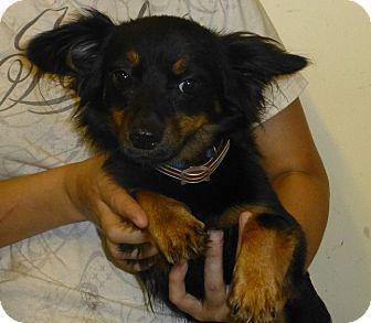 Pomeranian Mix Dog for adoption in Oviedo, Florida - Mikey