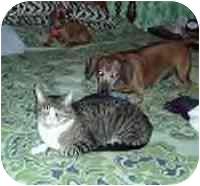 Dachshund/Dachshund Mix Dog for adoption in Cole Camp, Missouri - Sammy