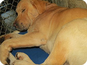 Golden Retriever/Pit Bull Terrier Mix Dog for adoption in Henderson, North Carolina - Golden Boy